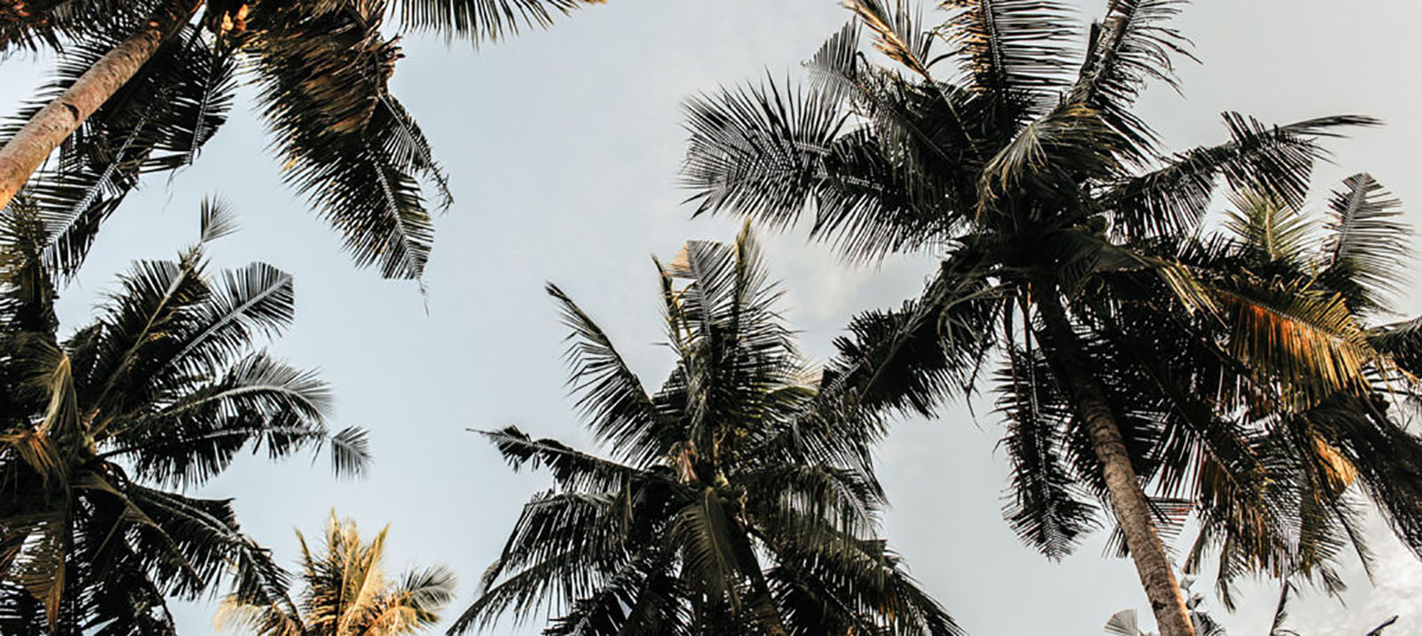 Caribe Palm CDD Image